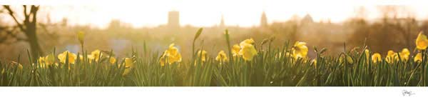 Panorama of Oxford University's Dreaming Spires through Daffodils.